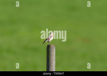 Beautiful tiny Northern Wheatear on a wooden pole - Stock Photo