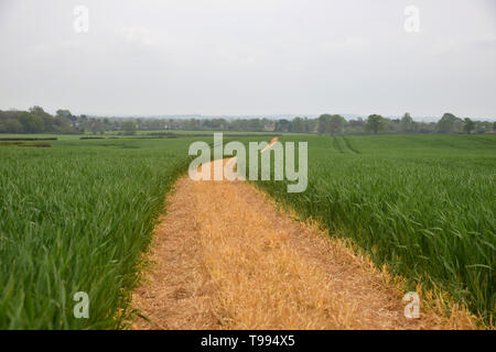 A footpath which has been clearly marked by a farmer runs acorss a field of crops between the Oxfordshire villages of Bladon and Begbroke - Stock Photo