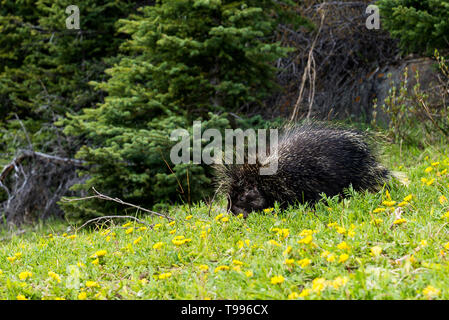 porcupine, Banff National Park, Alberta, Canada - Stock Photo