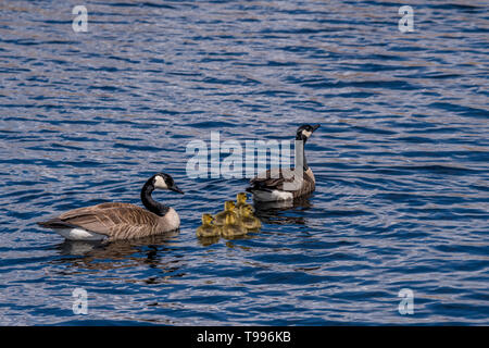 Two Canada Geese (Branta canadensis) adults and five goslings (chicks) swimming. - Stock Photo
