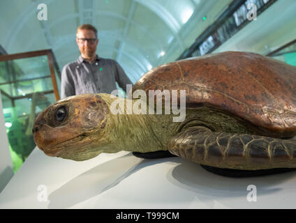 Alistair MacKillop views a male green turtle taxidermy specimen, on loan from the Natural History Musuem, at the Horniman Museum and Gardens in south London. - Stock Photo