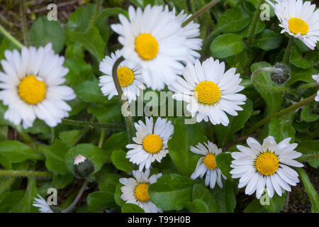 Gänseblümchen, Ausdauerndes Gänseblümchen, Mehrjähriges Gänseblümchen, Maßliebchen, Tausendschön, Bellis perennis, English Daisy, common daisy, lawn d - Stock Photo