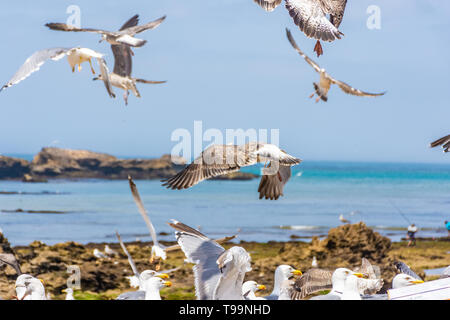 Flock of seagulls in the rocky beach of Essaouira, Morocco - Stock Photo