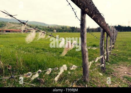 Animal farm in the country  Barbed wire with sheep wool on it Selective focus - Stock Photo