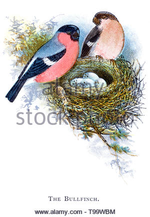 Eurasian or Common Bullfinch (Pyrrhula pyrrhula) male and female at the nest with eggs, vintage illustration published in 1898 - Stock Photo