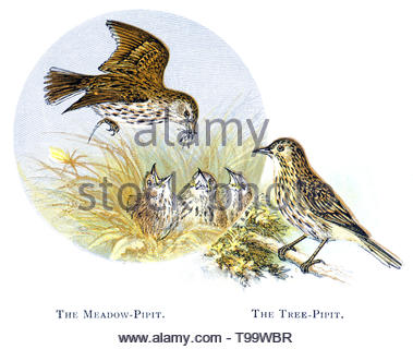 Meadow Pipit (Anthus pratensis) and Tree Pipit (Anthus trivialis), vintage illustration published in 1898