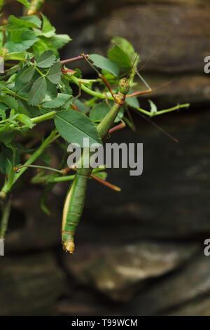Stick insect (Periphetes forcipatus). Wildlife animal. - Stock Photo