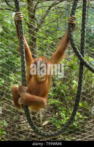 Newborn Sumatran orangutan (Pongo abelii) playing with ropes at Hellabrunn Zoo (Tierpark Hellabrunn) in Munich, Bavaria, Germany. - Stock Photo