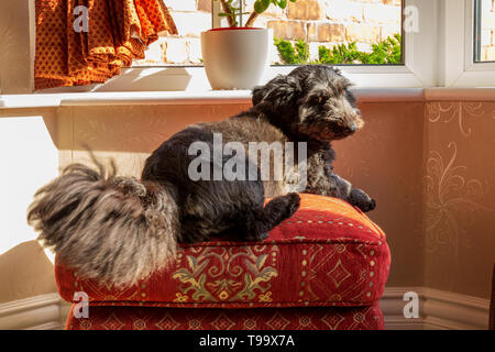 black terrier type dog resting on a footstool in a window bay wagging her big bushy tail looking back at the camera  photograph taken in natural light - Stock Photo