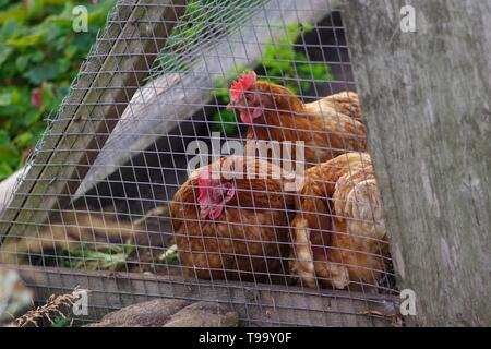 Three Rhode Island Red Chickens in a Coop in a Back Garden. Crail, Fife, Scotland, UK. - Stock Photo