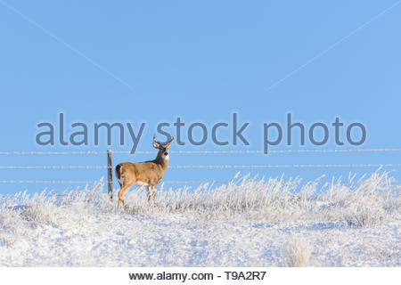 A frosty White Tailed Deer buck, Odocoileus virginianus, standing near a barbed wire fence in a field on a cold morning with heavy hoar frost. - Stock Photo