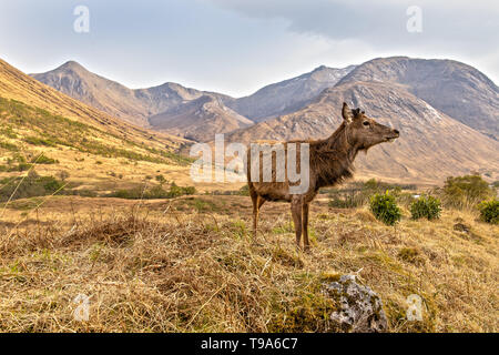Red Deer in the Scottish Highlands near Glen Coe - Stock Photo