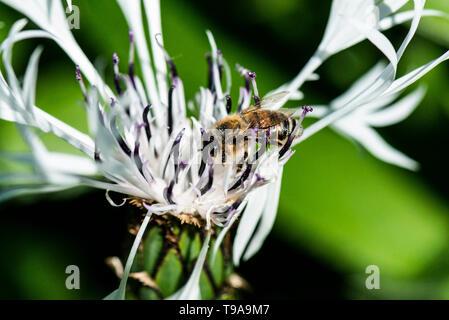A European honey bee (Apis mellifera) on the flower of a white perennial cornflower(Centaurea montana 'Alba') - Stock Photo