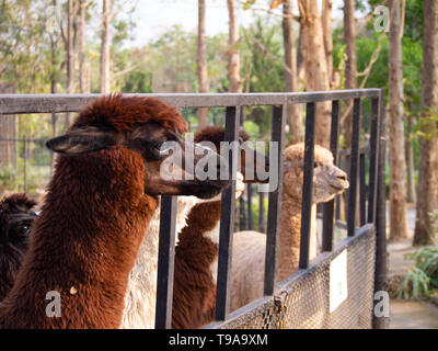 Cute Brown and White Fur Alpaca Looking Forward - close up photograph of a brown alpaca, surrounded by a wide variety of other alpacas in zoo safari.  - Stock Photo