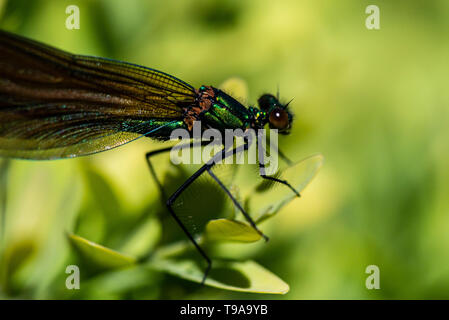 An immature male beautiful demoiselle damselfly (Calopteryx virgo) - Stock Photo