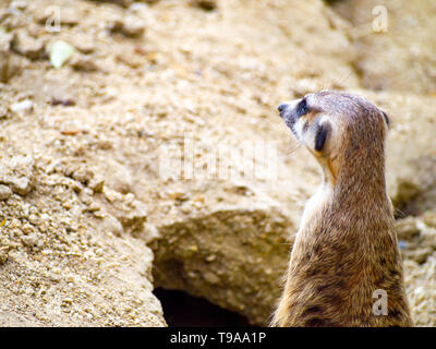 close-up cute meerkat that small animal its standing to alert look in forward on brown sand or soil ground  with blur nature background. - Stock Photo