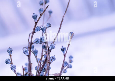 Winter or spring nature background with frozen  violet flowers. white blur background.beautiful nature concept idea