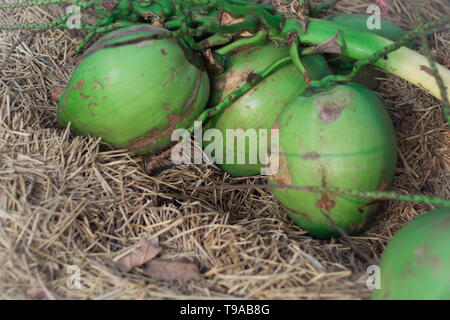Pile of green coconut fruits, green coconuts for pattern and background, Closeup of pile of coconuts - Stock Photo
