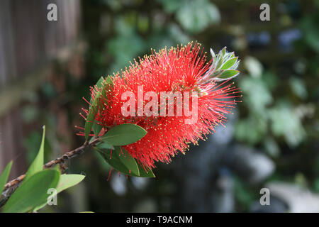 Close up of a bottle brush plant head with background out of focus. - Stock Photo