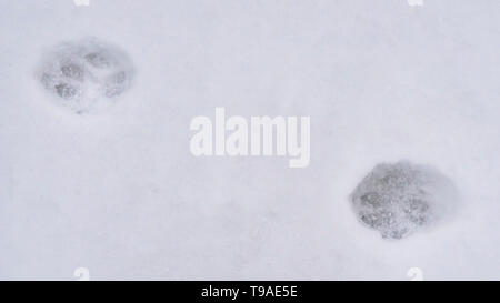 Clear Panorama Animal tracks on powdery white snow covering the ground during winter - Stock Photo