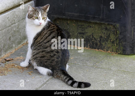 London, UK. 17th May, 2019. Larry, the 10 Downing Street cat and Chief Mouser to the Cabinet Office is seen in Downing Street as Cabinet Ministers attend the weekly cabinet meeting in No 10 Downing Street. Credit: Dinendra Haria/SOPA Images/ZUMA Wire/Alamy Live News - Stock Photo