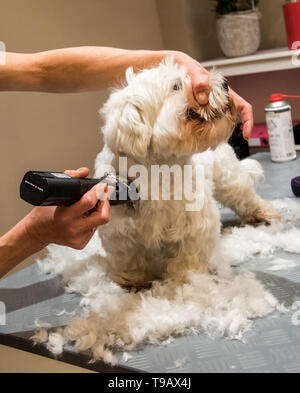 Hamburg, Germany. 14th May, 2019. The Maltese Oskar is being dressed in a branch of the dog salon chain 'Doging Station'. For many years, the pet industry has been posting steadily rising sales. (to dpa 'The business with Bello - Two women smell the big business') Credit: Daniel Bockwoldt/dpa/Alamy Live News - Stock Photo