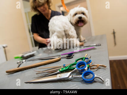 Hamburg, Germany. 14th May, 2019. Heike Hülsebusch, dog hairdresser, is hairdressing the Maltese Oskar in a branch of the dog salon chain 'Doging Station'. For many years, the pet industry has been posting steadily rising sales. (to dpa 'The business with Bello - Two women smell the big business') Credit: Daniel Bockwoldt/dpa/Alamy Live News - Stock Photo