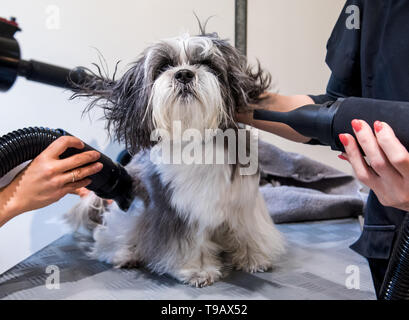 Hamburg, Germany. 14th May, 2019. The Havaneser-Malteser-Shitzu-Mix Louis is blow-dried in a branch of the dog salon chain 'Doging Station'. For many years, the pet industry has been posting steadily rising sales. (to dpa 'The business with Bello - Two women smell the big business') Credit: Daniel Bockwoldt/dpa/Alamy Live News - Stock Photo