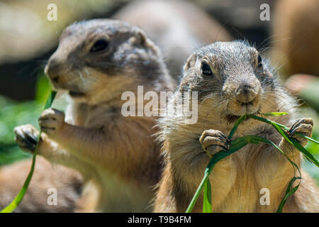 Two black-tailed prairie dogs (Cynomys ludovicianus), native to North America, eating grass halms - Stock Photo