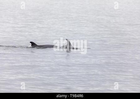 Common or Atlantic Bottlenose Dolphin (Tursiops truncatus) - Stock Photo