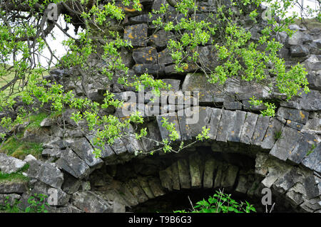 Goat Willow (Salix caprea )tree growing on a dereilict disused Limekiln,in the Black Mountains  above the Dan Yr Ogof Caves, South Wales,UK - Stock Photo