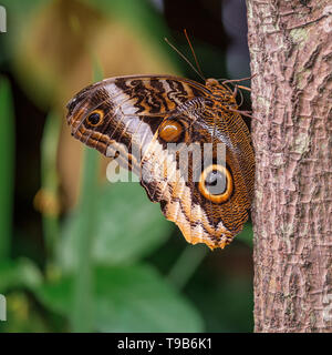 Beautiful yellow-edged giant owl butterfly resting on a tree stem with bokeh leaves in the background - Stock Photo