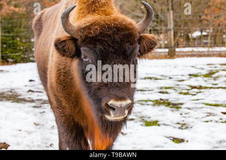 European bison (Bos bonasus) in winter time - close up - Stock Photo