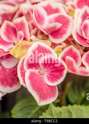 Hydrangea Macrophylla Red Ace - Stock Photo