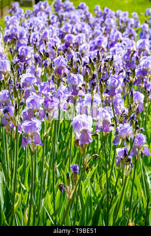 Lilac iris flowers, spring blossom of colorful irises in Provence, South of France, nature background - Stock Photo