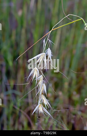 Dry ears of Common wild oat, Avena fatua - Stock Photo