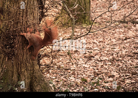 squirrel on a tree in a jump position. amazing photo - Stock Photo