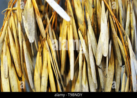 Ash tree (Fraxinus) dry yellow seeds, natural organic background, close up macro detail - Stock Photo