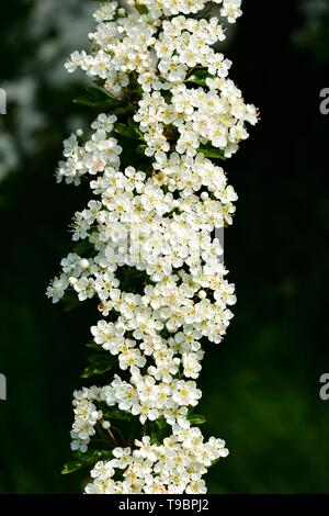A hawthorn branch covered in white blossom and buds. - Stock Photo
