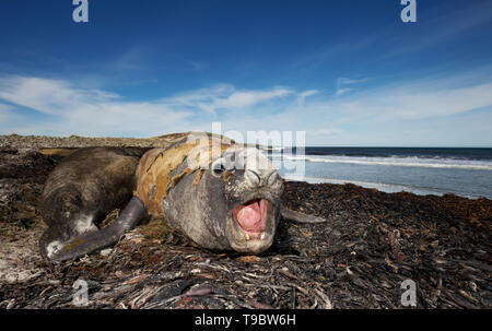 Close up of a male Elephant seal on the coasts of Falkland Islands. - Stock Photo