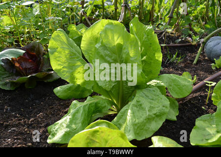 Close-up view to a plant of green lettuce Romana, Romaine or cos in a summer garden with green pumpkin on black soft soil under sunlight. - Stock Photo