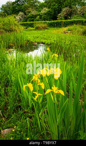 Yellow Flag Iris by a pond May 2019