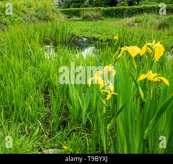 Yellow Flag Iris by a pond May 2019 - Stock Photo