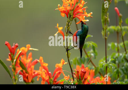 Colorful sunbird with iridescent coloured feathers drinking nectar, photographed at Falcon in the Drakensberg mountains, Kwazulu Natal, South Africa - Stock Photo