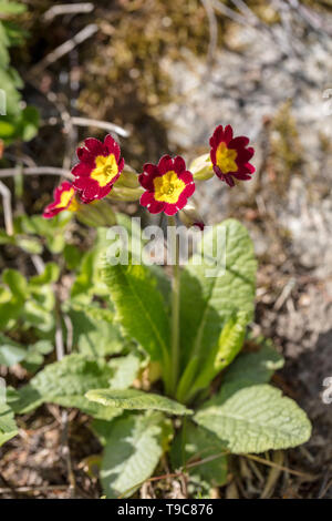 Common Cowslip, Gullviva (Primula veris) - Stock Photo