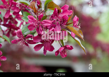 Close up view of beautiful royalty red crabapple tree blossoms in full bloom - Stock Photo