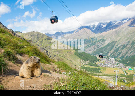 Alpine marmot in its surroundings with in the background a cableway and the village of Saas fee in Switzerland - Stock Photo