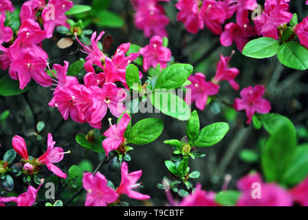 Magenta-red rhododendron flowers on bush, soft dark green blurry leaves background - Stock Photo