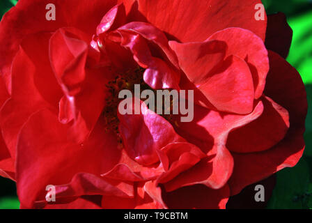 Red terry rose flower blooming on bush, dark green leaves background, top view close up macro detail - Stock Photo