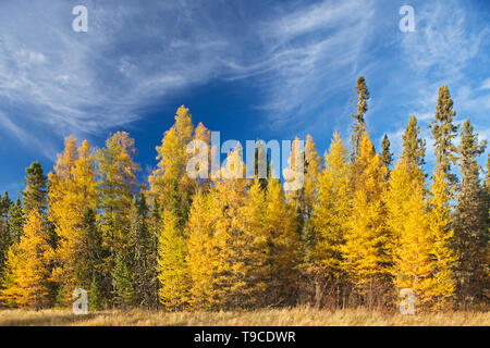 Boreal forest of Black spruce (Picea mariana) and eastern larch / tamarack (Larix laricina) in autumn color Ear Falls Ontario Canada - Stock Photo